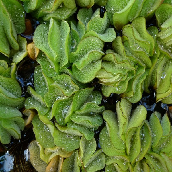 Free-Floating-Salvinia-04-Australia