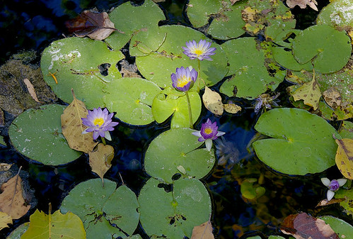 Aquatic-Native-Waterlily-04-Australia