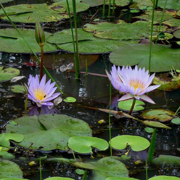 Cape-Waterlily-01-Australia