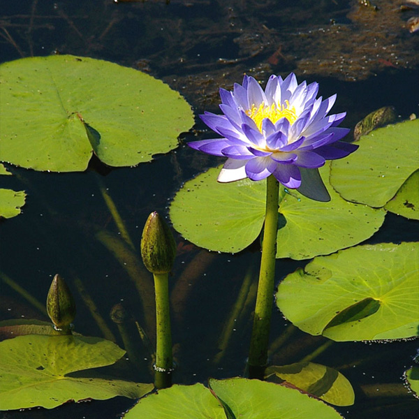 Floating-Native-Waterlily-06-Australia