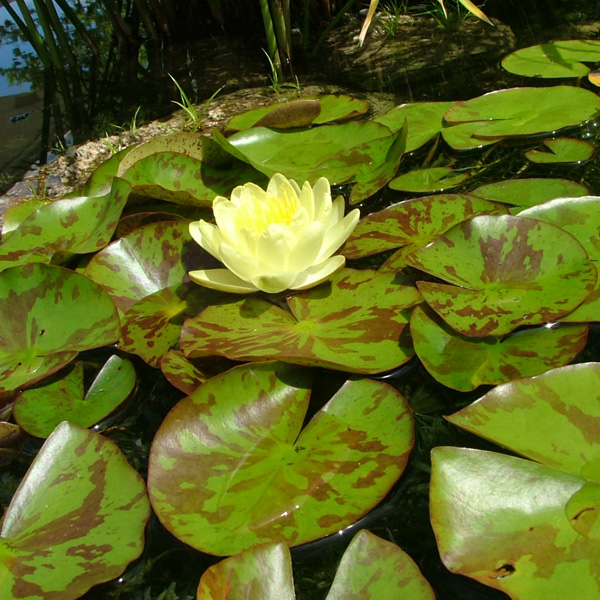 Introduced-Yellow-Waterlily-03-Australia
