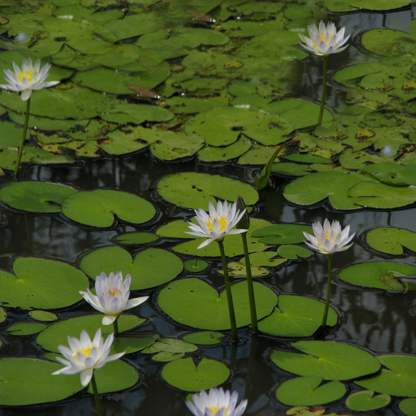 Native-Waterlily-01-Australia